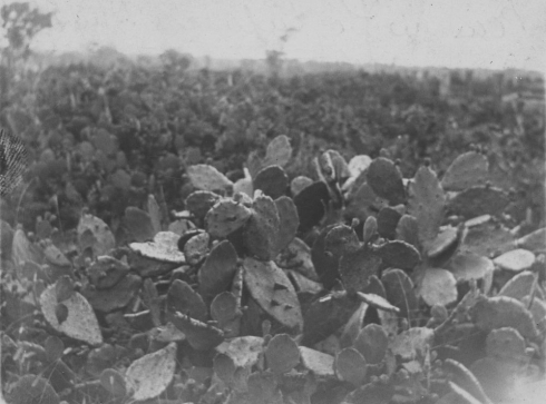 prickly pear, dulacca, 1910