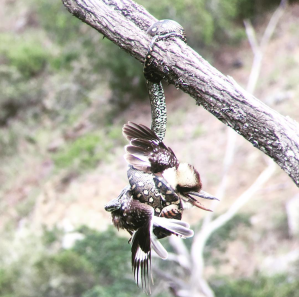 snake kookaburra