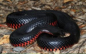 snake red-bellied