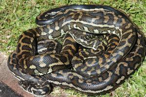 snakes carpet