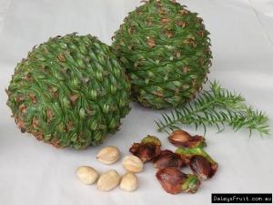 bunya 4 daleys fruitAraucaria-bidwilli-Bunya-Nut-146
