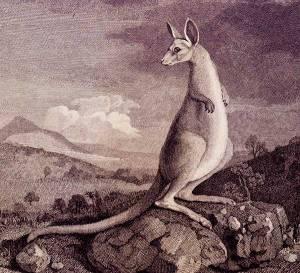 cooktown kangourou parkinson